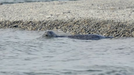 Elusive freshwater Alaska seals one of a kind says study