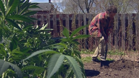 'Price-conscious' pot consumers find backyard planting way cheaper