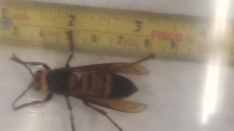 Hornet found by Valerie Greer North Vancouver 10 May 2019