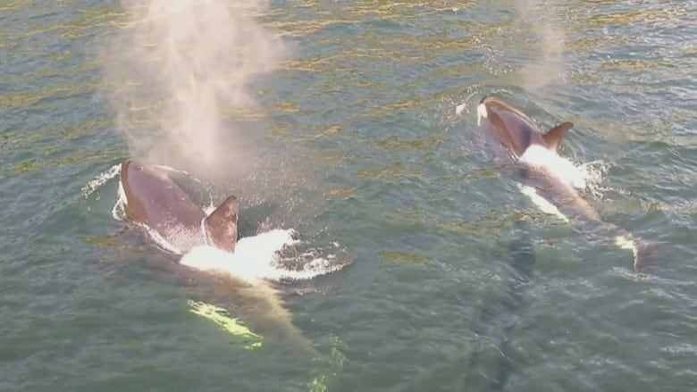 Watch as orcas surround a Howe Sound sailboat and delight all on board