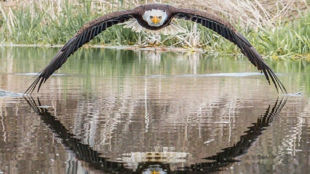Windsor photographer's shot of bald eagle and its reflection goes viral | CBC News