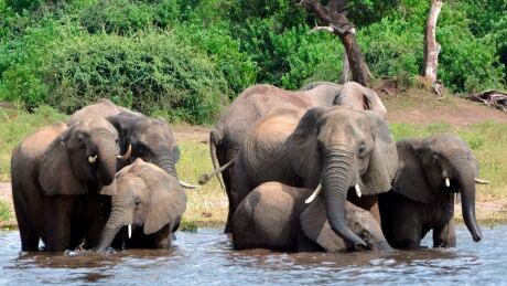 Botswana elephant hunting