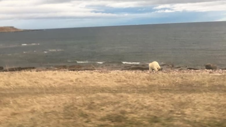 'Slow the ... down! There's a polar bear': Blanc Sablon, Que., residents on high alert
