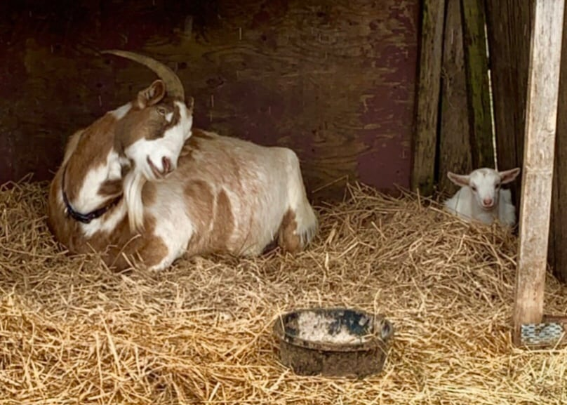 A goat thinks it's pregnant and a kid milks the situation