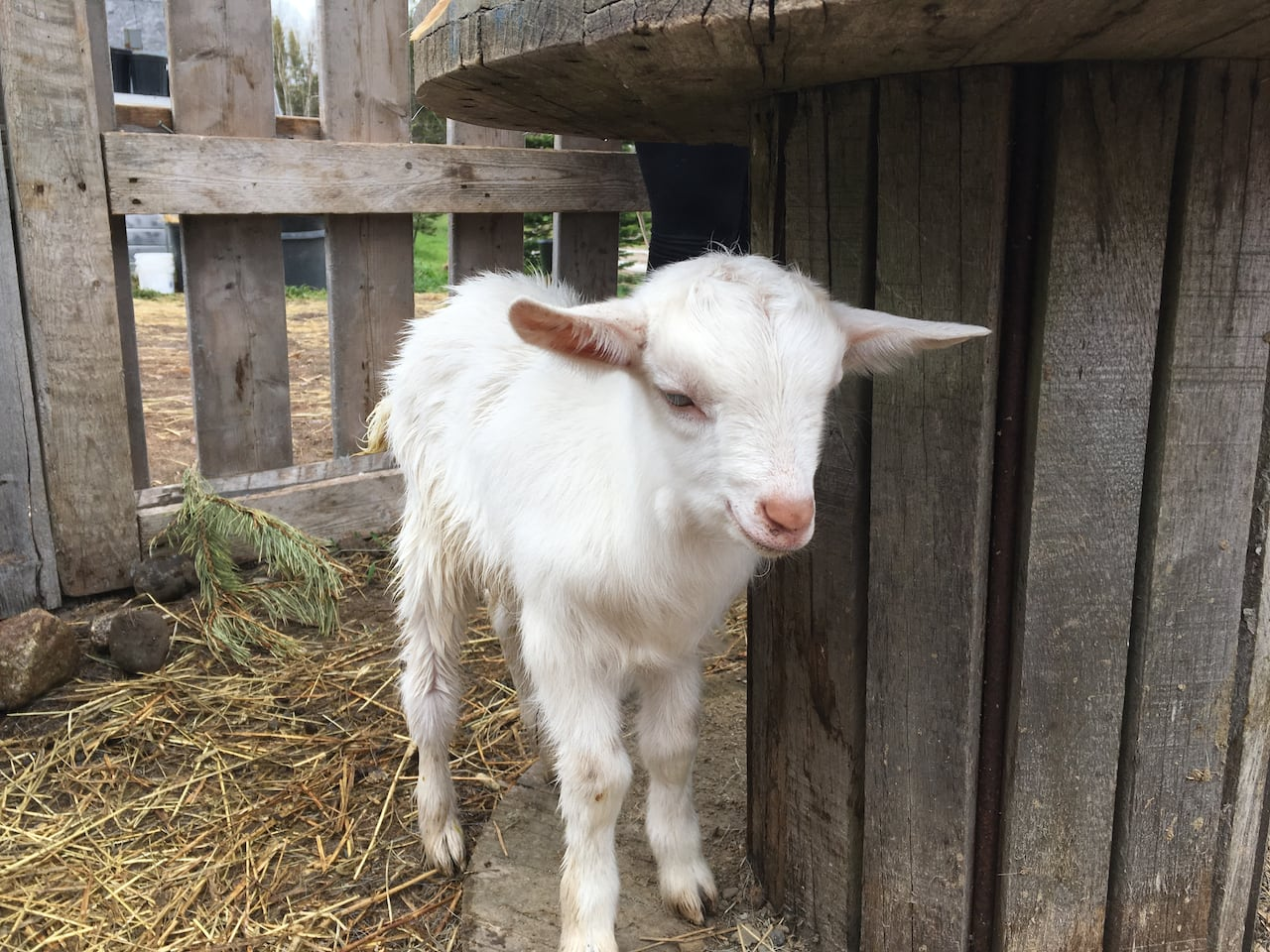 A goat thinks it's pregnant and a kid milks the situation: The story