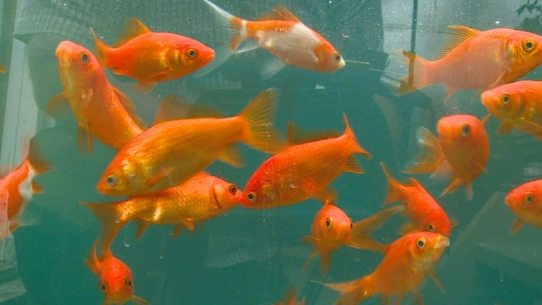 How this greenhouse grows food all year using goldfish and