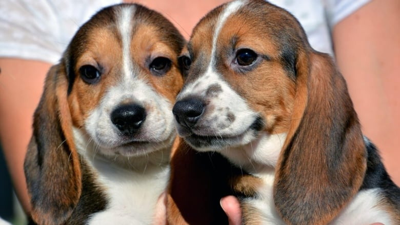 Not-so-free puppies: Multiple British Columbians scammed by fake