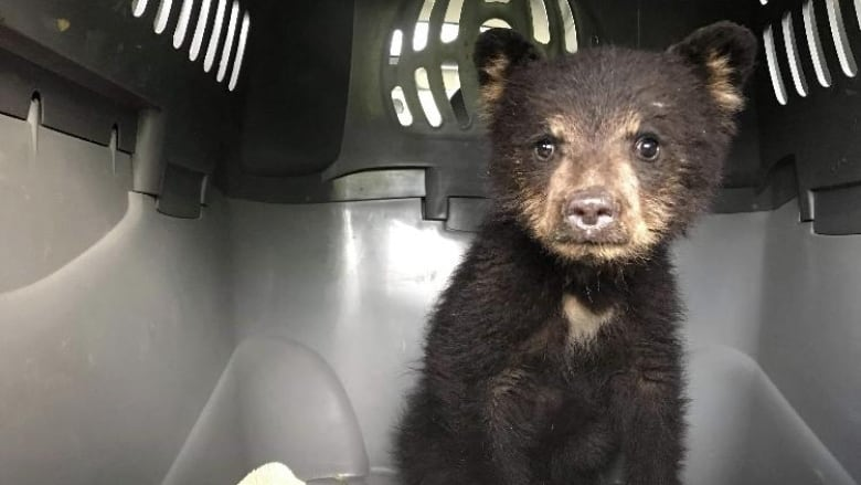 Orphaned bear cub rescued near Lillooet after mother shot by hunter