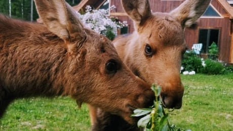 Orphaned moose calves recovering after Revelstoke rescue