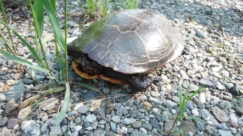 Turtle crossing in Eastern Townships successful in saving critters
