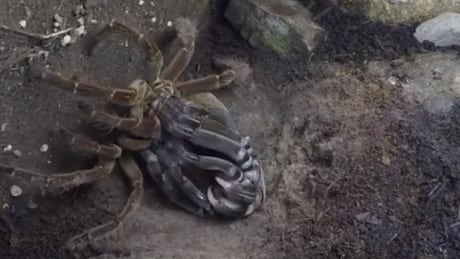 B.C. garden keeper waited 4 years to film this tarantula shedding its exoskeleton