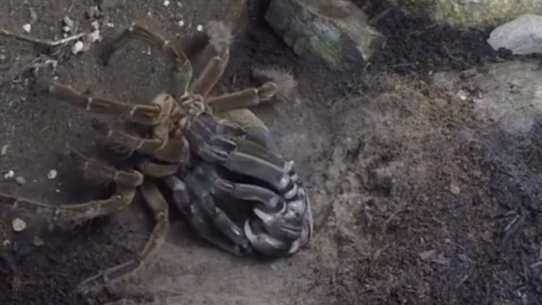 B.C. garden keeper waited 4 years to film this tarantula shedding its exoskeleton