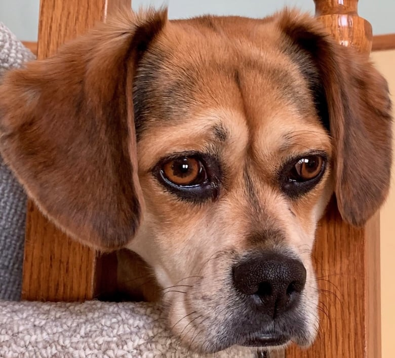 Puppy dog eyes are no accident, research study shows   CBC News