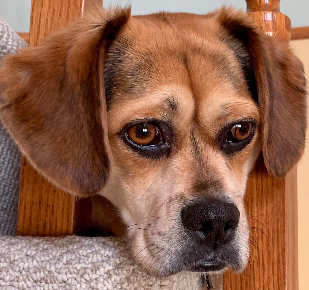 Puppy dog eyes are no accident, research study shows | CBC News