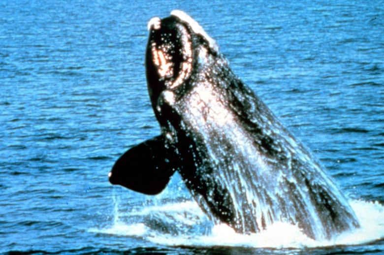 Right whale protections in St. Lawrence aren't enough, don't protect other whales