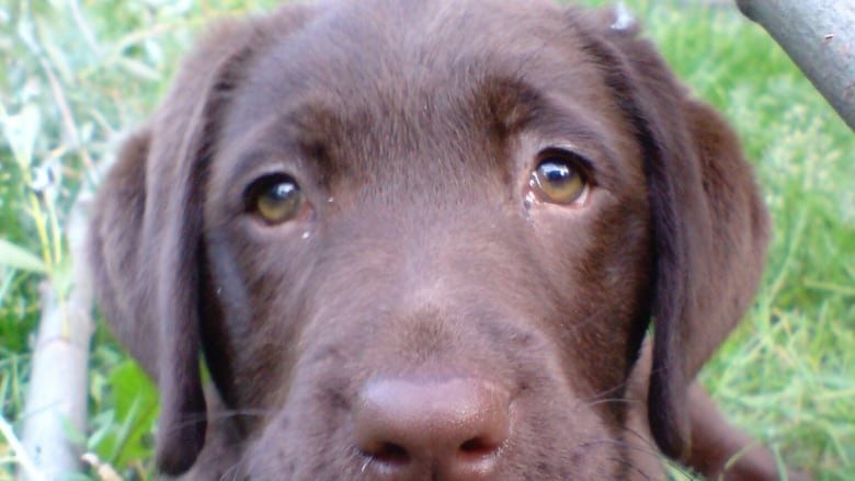 We've bred dogs to have expressive eyebrows that manipulate our emotions