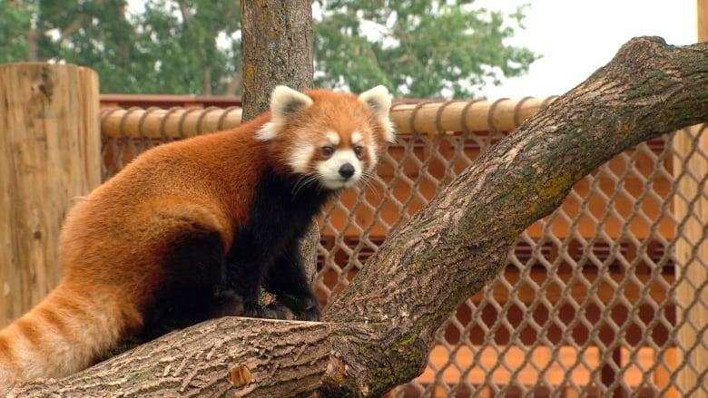 Edmonton Valley Zoo unveils new urban farm, habitat for red pandas