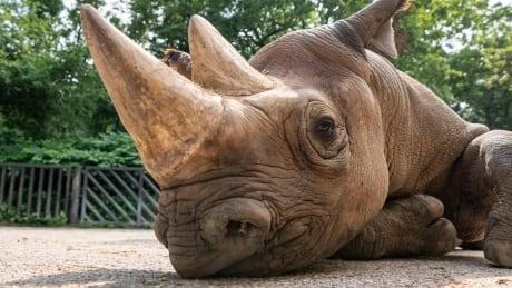 Europe Rwanda Rhinos