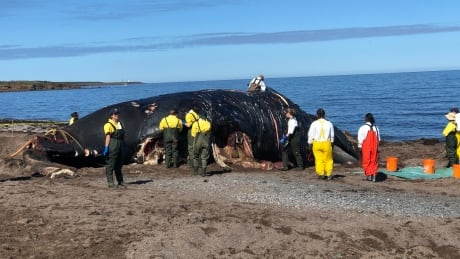 right whale necropsy