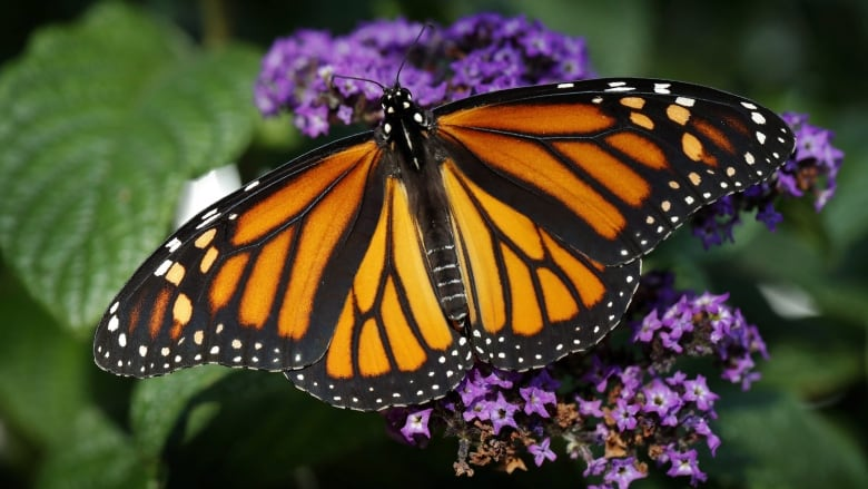 'It's easy to mess up their development': Monarch butterflies raised in captivity may not migrate to Mexico
