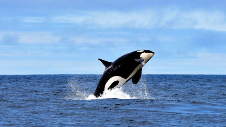 Test your knowledge by taking our killer whales quiz