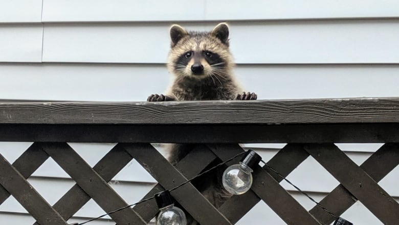 Is Toronto the raccoon capital of Canada?