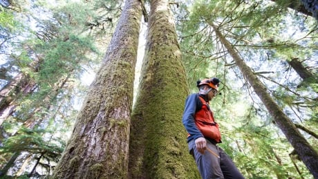 Old B.C. trees produce mutations over time that could be key to growth success
