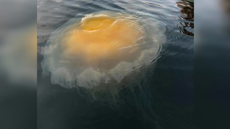 Massive 'fried egg' jellyfish spotted in B.C.