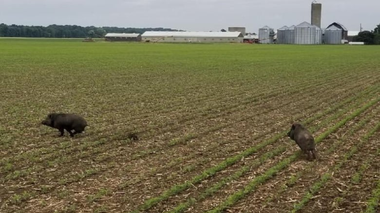 As wild pigs spread, Ontario braces for an 'ecological