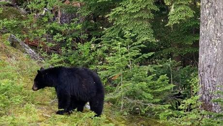 Black Bear feature  20090626
