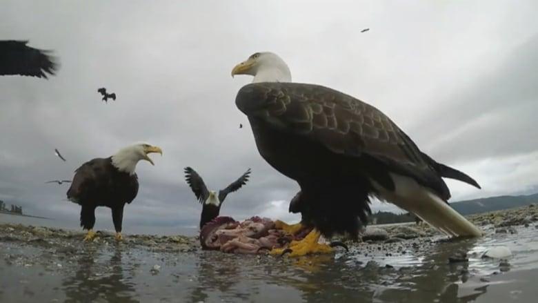 Eagle captures video selfie after snatching camera on Haida Gwaii