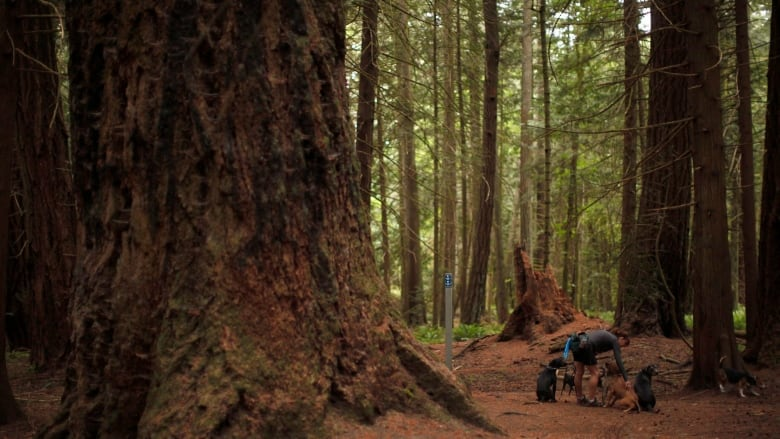 Dozens of B.C.'s largest old-growth trees now on the protection list