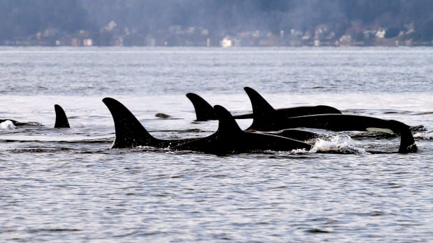 Google AI network learning to recognize orcas by their calls | CBC News