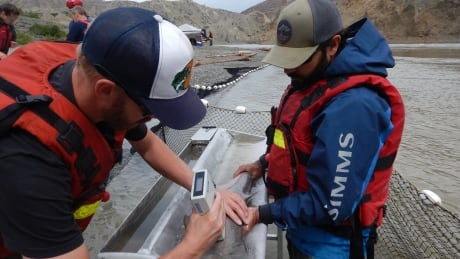 trapped migrating salmon to be flown over fraser river rock slide in b c