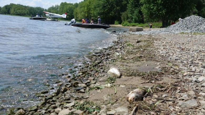 More dead fish along Ottawa River worrying to boaters, swimmers