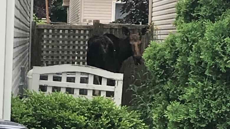 Another moose hoofs it into Orléans