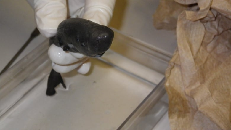 This tiny shark squirts glow-in-the-dark ink from its pockets