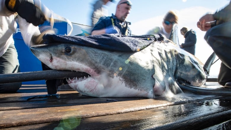 Great white shark's visit near Halifax harbour causes a stir
