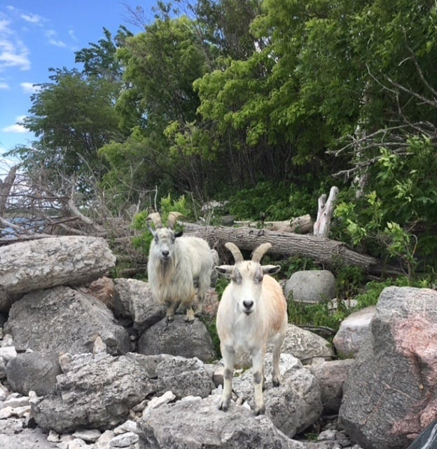 Hopper and Gonzo: Province running beloved goats off their island in
