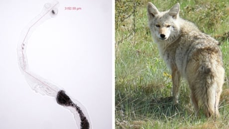 Coyote parasitic tapeworm