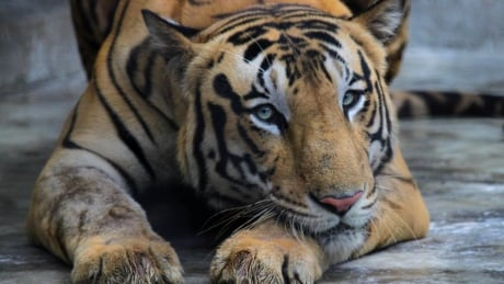 India Tiger Count