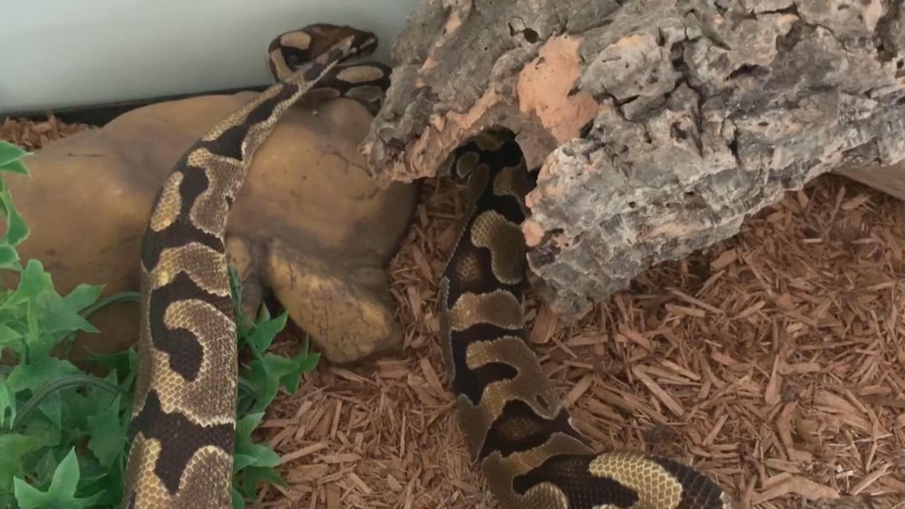 Owners reunited with Python found in east end Toronto sewer
