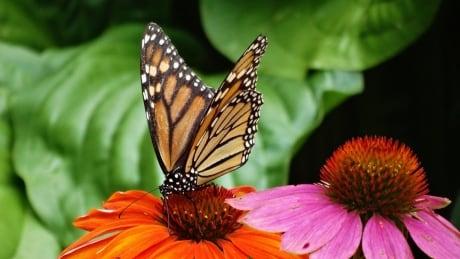 Monarch butterfly, Aylmer Ontario