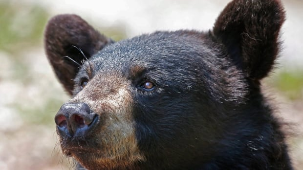 Tahltan Nation urges members to hunt bears, wolves in northern B.C.