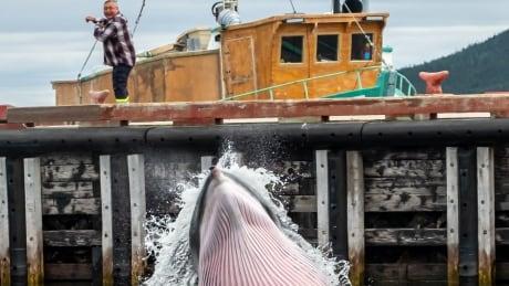 rigolet whale