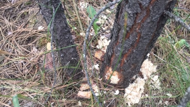 'It's a travesty': Vandals poison pine trees in Kamloops, B.C.