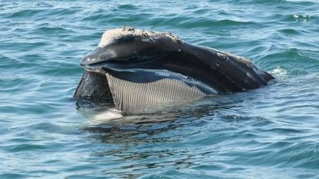 North Atlantic right whale baleen
