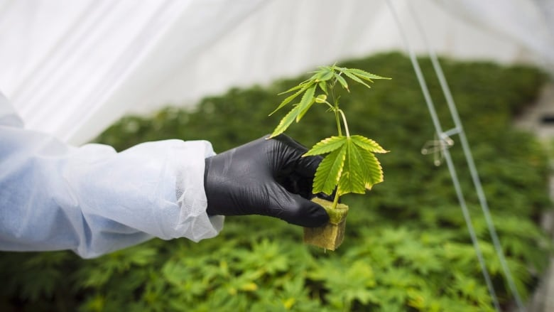 Canntrust managers cease trade while company works out regulatory problems with Health Canada