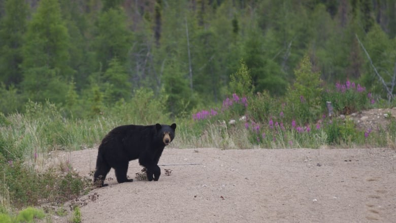 2 bears killed to determine if either involved in fatal attack last week in N.W.T.