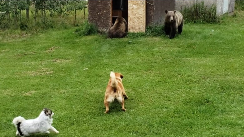 Woman 'petrified' as 3 grizzlies face off with dogs in Alberta backyard